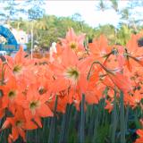 bunga amarilis